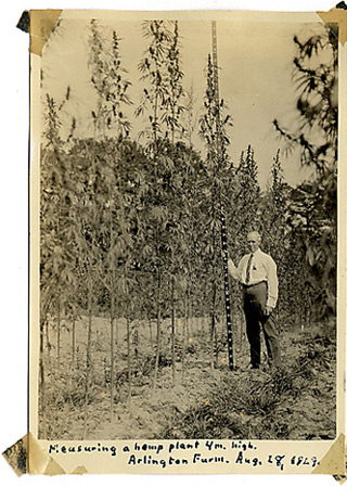 USDA Botanist, Lyster H. Dewey measuring a hemp  plant at Arlington Farms. The Pentagon was later  built on the same land. 1929